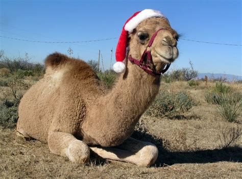 christmas camel blank template imgflip