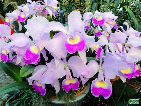 7 interesting facts about colombian orchids colombia orchids cattleya trianae orchidaceae origin colombia