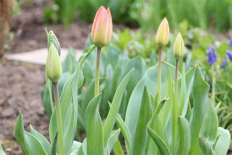 wann darf rasenmã hen tulpen schneiden verbl hte tulpen darf die bl ten