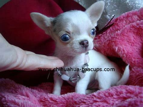 teacup applehead chihuahua puppies for sale teacup chihuahuas for sale chihuahuas chihuahua puppy information applehead