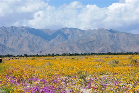 anza borrego henderson canyon panoramio photo of henderson canyon wild flowers in