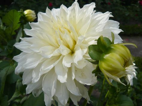 Dahlia White file dahlia white perfection 1 jpg wikimedia commons