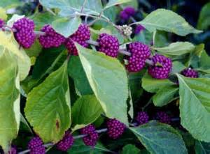 callicarpa americana american beautyberry