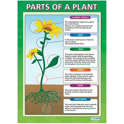 diagram poster parts of a plant poster plants science curriculum