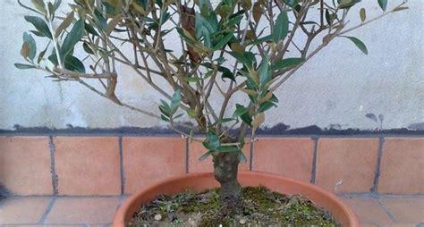 pianta di ulivo in vaso ulivo pianta piante da giardino pianta di ulivo