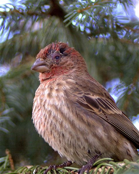 house finch conjunctivitis mycoplasmal conjunctivitis house finch flickr photo