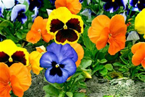 bis wann kann bã ume pflanzen wann kann stiefm 252 tterchen pflanzen