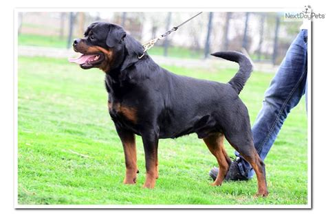rottweilers for sale houston rottweiler puppy for sale near houston 81cb306d 88f1