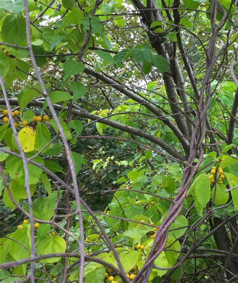 species celastrus orbiculatus was found by nobittersweet on 2010 09 13 vital signs