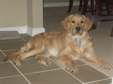 golden retriever sudden causes diabetes mellitus part ii dogs