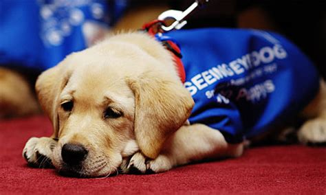 how to seeing eye dogs seeing eye dogs australia seda ritchies supermarkets