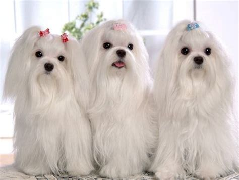shih tzu blanco razas de perros peque 241 os shih tzu