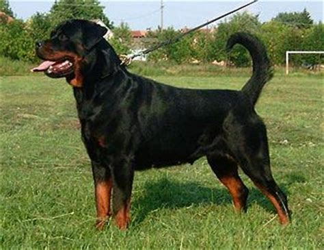 german purebred rottweiler chion german rottweiler vom grossen tal picture gallery