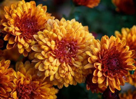 november flowers birth flowers november chrysanthemums growing family