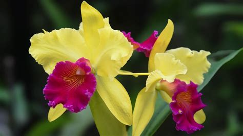 Cattleya Maxy growing and repotting cattleya orchids