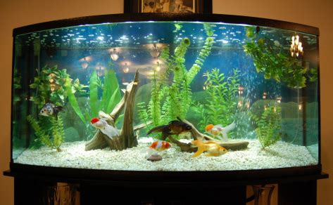 aquarium design group goldfish fancy goldfish tank aquariums fish tanks ponds
