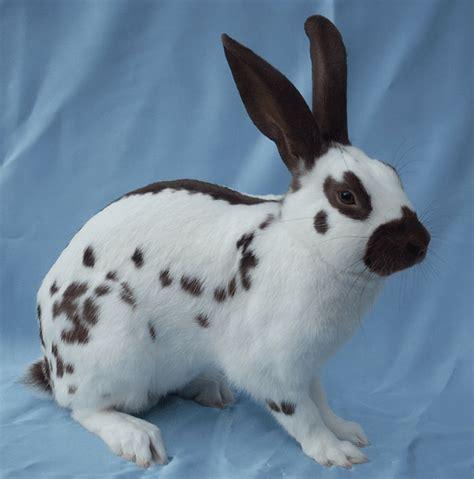 Kelinci Imut Lucu 6 jenis kelinci yang imut dan lucu beserta gambarnya