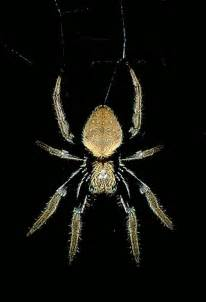 Garden Spider Australia Classifying Spiders Australian Museum