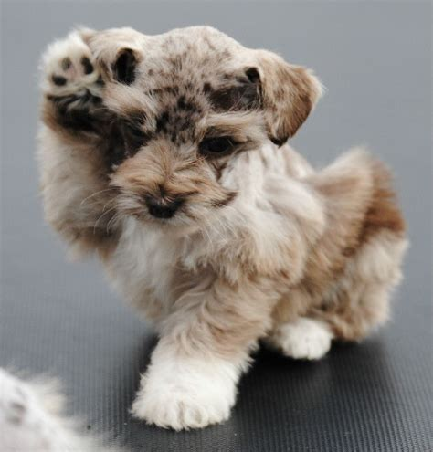 how to give a miniature schnauzer puppy a first haircut ehow merle schnauzer puppies colorado miniature schnauzer