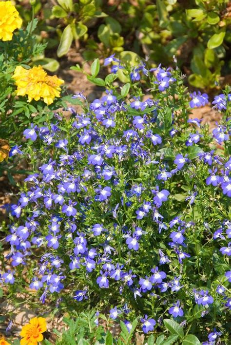 blue flowers picture tiny flowers in bloom light colored pin by norager klepacz on gardening
