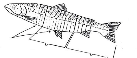 Pakan Ikan Cupang Biar Ganas gambar gambar ikan cupang ganas info seputar aduan