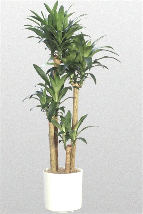 buy house plants now dracaena branched warneckii dracaena fragrans plants flowers cornstalk dracaena a