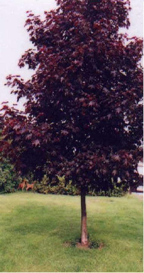 acer platanoides norway maple tree crimson king maple