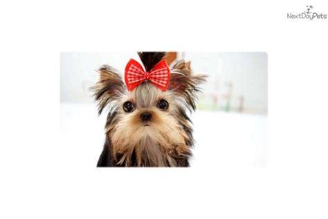 teacup yorkie hawaii terrier yorkie puppy for sale near hawaii 96f8d813 0371