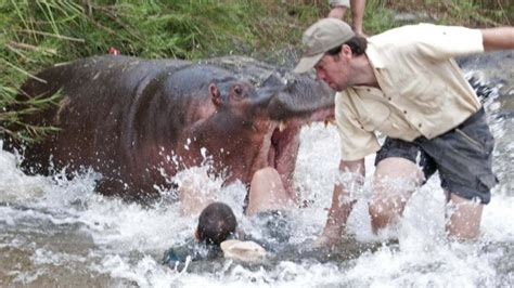 hippo chasing boat real or fake baby hippo pics
