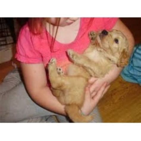 golden retriever rescue springfield mo beasley doodles poodles goldendoodle breeder in everton missouri