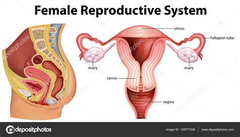 diagram reproductive system diagram of reproductive system driverlayer search