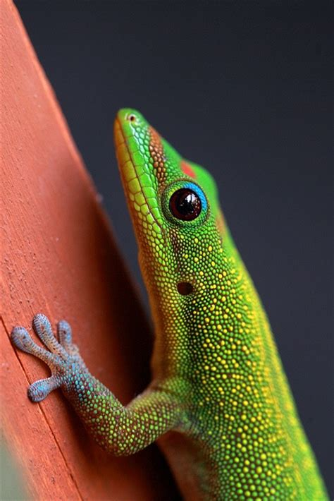 17 best images about geckos on madagascar mauritius and hiding places
