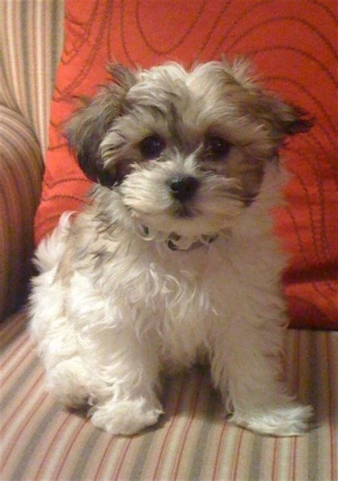 what is a teddy puppy 30 best images about teddy dogs on dogs for sale teddy dogs and