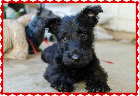 puppy news scotty scottie puppies breeds picture