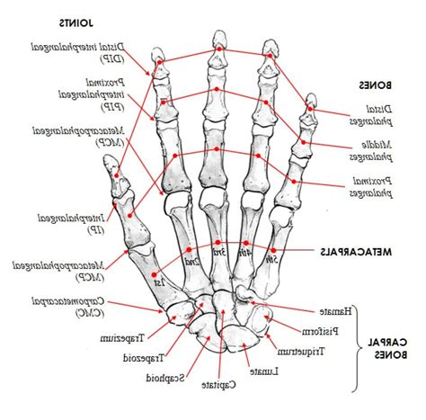 skeleton diagram quiz anatomy bone quiz human anatomy system