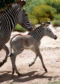 what color is a zebra what color is a zebra howstuffworks