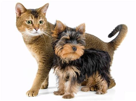 and yorkie terrier and cat photo and wallpaper beautiful terrier and