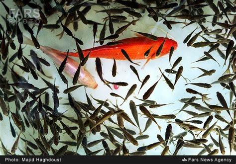 new year traditions and symbols photos iranian new year traditions and symbols goldfish