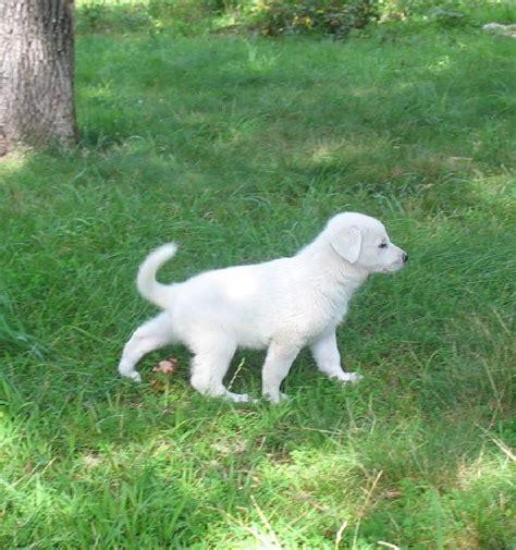 6 week german shepherd puppies white german shepherd puppies 6 weeks dogs our friends photo