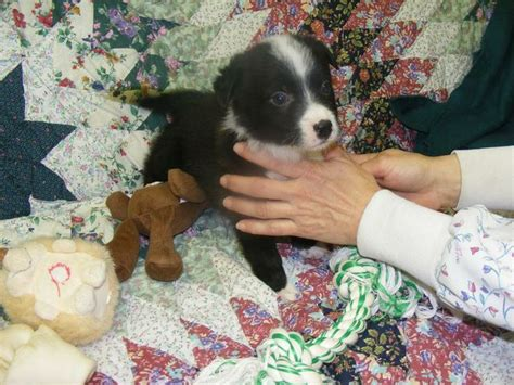 puppy le pew 60 best images about our new puppy on blue heeler puppys and pit bull mix