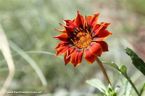 image for flowers gazania flower picture flower pictures 3683