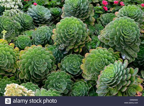 alcatraz garden aeonium succulents succulent plants plant planting stock photo royalty free