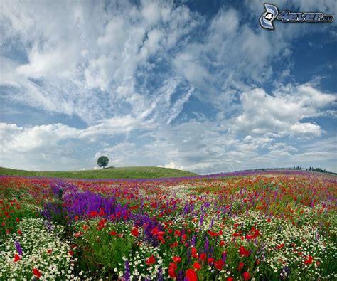 solitario fiori prato