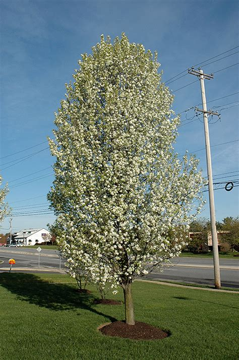 cleveland select ornamental pear pyrus calleryana