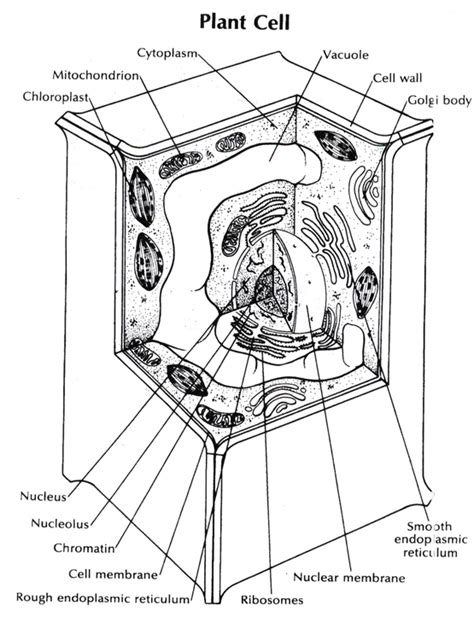 Plant Cell Coloring Pages free unlabeled plant cell coloring pages