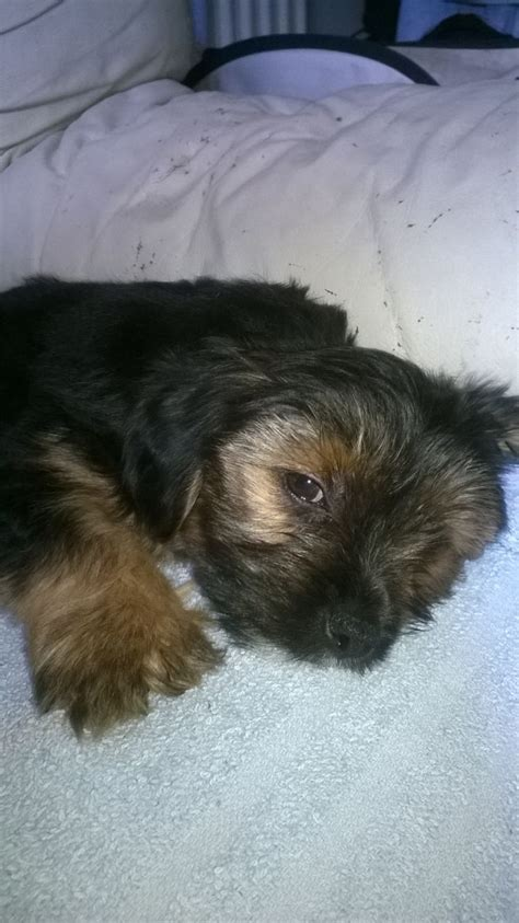 fluffy yorkie one pretty and fluffy yorkie boy walsall west midlands pets4homes