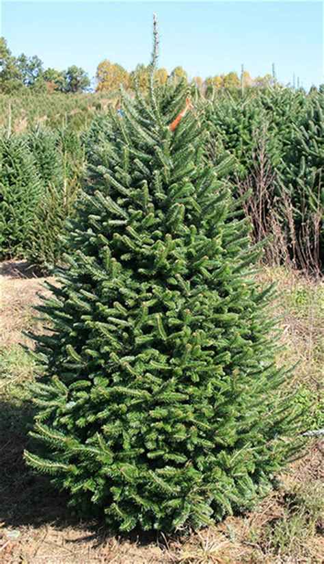 best wholesale christmas trees