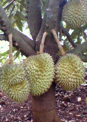 agro nursery plants durian batang mas berbuah rendah