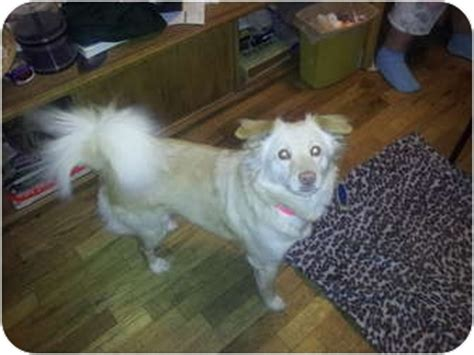 golden retriever american eskimo mix kaira adopted grants pass or golden retriever