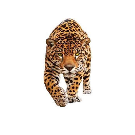 what s the difference between a jaguar and panther vs jaguar what are the differences differencec